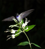 Black Throat Hummingbird