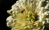 The Dependable Honeybee