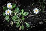 Miniature Wild Daisy!