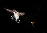 Black Chinned Hummingbird & Friend