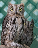 Western Screech Owl Chicks