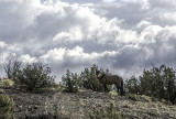 Wild Stallion, Placitas NM