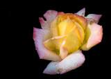 Rose Sherbert