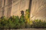 Canyon Cottonwood