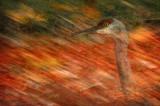 Sandhill Crane Mirage