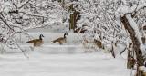 Fake Snow Geese