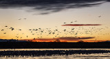 Morning Rise, Snow Geese