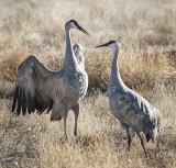 Crane Went a Courtin'