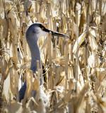 Sandhill Crane in the Cornfield