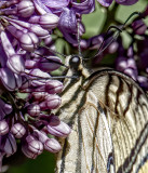 Swallowtail and Lilac