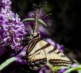 Swallowtail Butterfly and Lilac