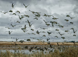 White Fronted Geese - Blast Off!