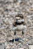 Killdeer Chick
