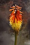 Red Hot Poker Blossom