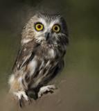 Western Saw-whet Owl