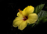 Summertime Hibiscus