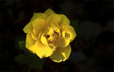 Remember The Yellow Rose