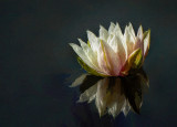Sweet Water Lily