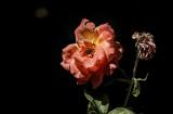 Sherbert Rose
