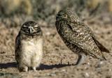 Those Burrowing Owls