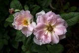 Sunday's Rose Duet