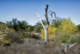 Dead Snag in the Bosque