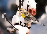 Winter Warbler