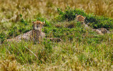 Cheetah: Mother & Young