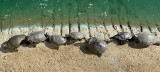Turtles Sunning on the Bank