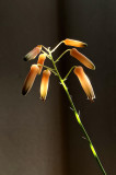 Aloe Blooms