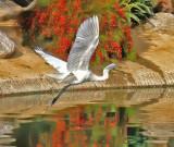 Egret Taking Off