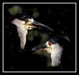 Male Herons