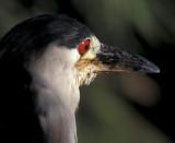 Male Black Crowned Heron
