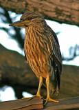 Female Heron