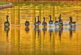 Candaian Geese