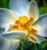 Lotus 1196