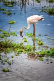 Flamingo Foraging
