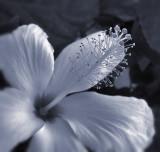 Hibiscus in Selenium