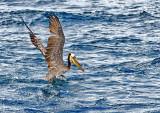 Pelican off Dana Point