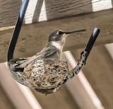 Nesting Hummer #2