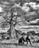 Elephants & Baobab Tree