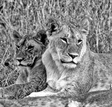 Female Lions at Rest
