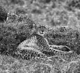 Cheetah w/ a Cub Hidden Behind her