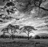 Acacia Tree Sunset Hour