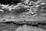 Cape Buffalo on the Move