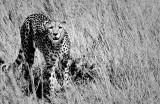 Cheetah Hunting in Tall Grass