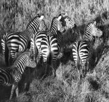 Zebra from the Air