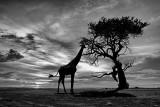 Giraffe Monochrome Sunset Silhouette
