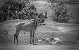 Roan Antelope