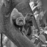 Manyara Monkeys